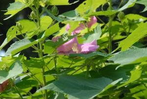 フヨウの花も咲き始めました