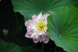 長谷寺 花散歩 8月8日撮影:境内の花々