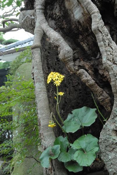 タブの木のウロに咲くツワブキ