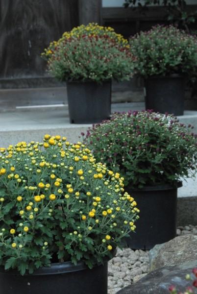 ドーム菊 11月1日より菊花展が開催されます
