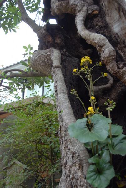 タブの木のウロの中に咲くツワブキ