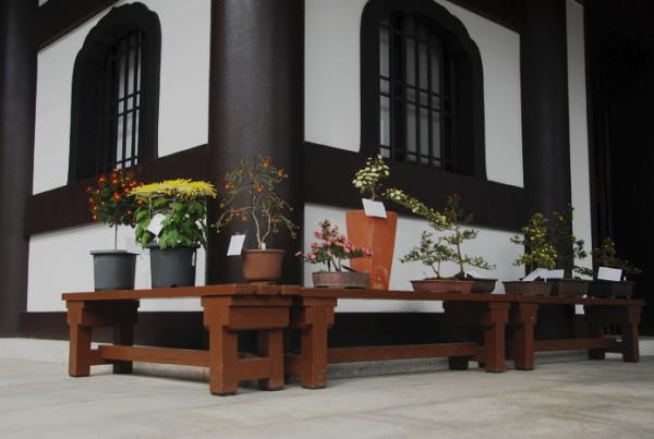 菊花展は11月15日まで開催しております。