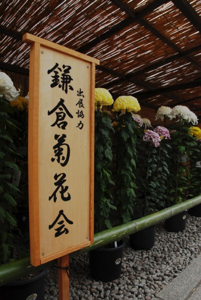 観音堂前にて菊花展を開催しております。