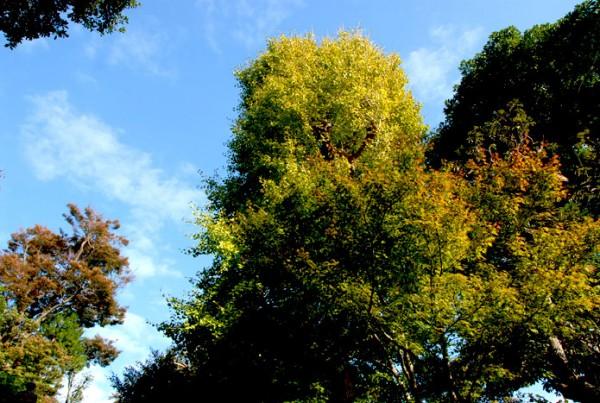ヤマモミジとイチョウの木