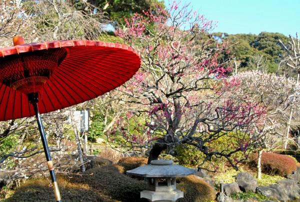 梅 野点傘