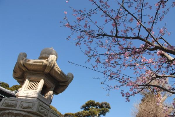 上境内河津桜