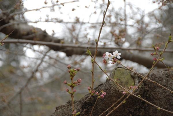 境内の花々と桜の開花状況