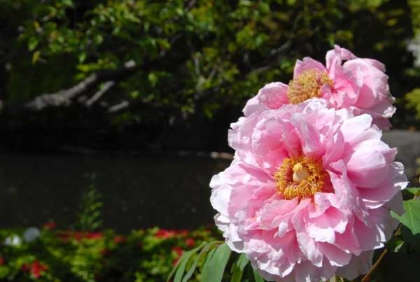 境内の花々とボタンの開花状況
