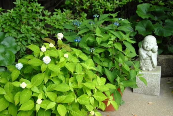 アジサイ鉢植え