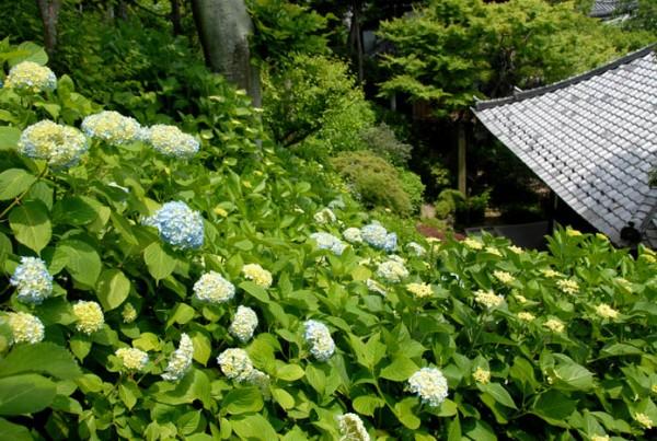 アジサイの開花状況と境内の花々