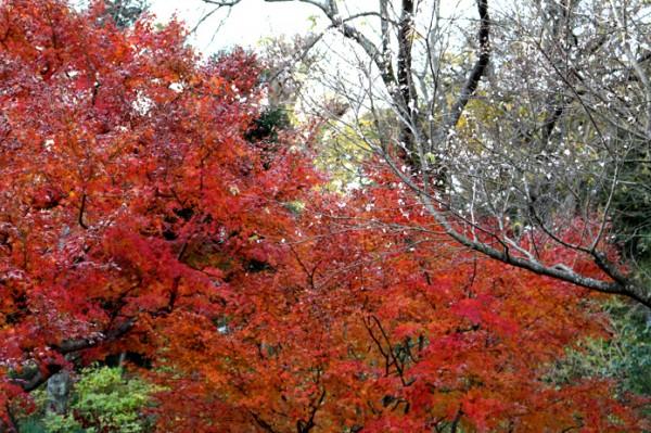 コブクザクラと紅葉