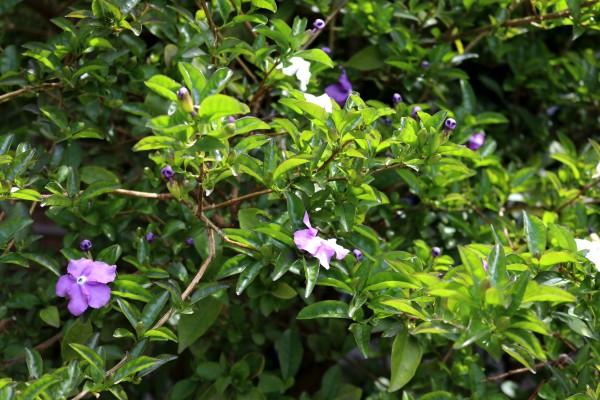 ニオイバンマツリ(咲き始め)