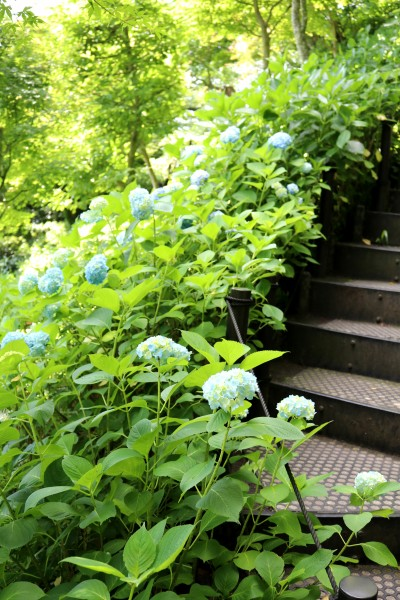 アジサイの開花情報と境内の花々