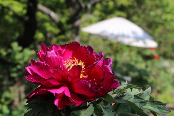 (日本語) 境内の花々
