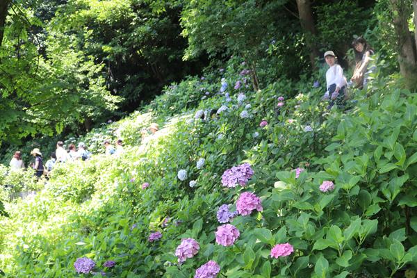 アジサイ&境内の花々 開花情報